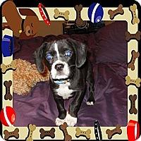 Adopt A Pet :: Cheever - Glastonbury, CT