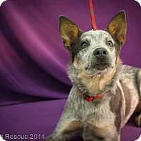 Adopt A Pet :: SHASTA - Broomfield, CO