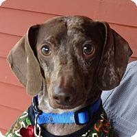 Adopt A Pet :: Harley - Portland, OR