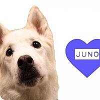 Adopt A Pet :: Juno - Grand Rapids, MI