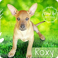 Adopt A Pet :: Roxy - West Hartford, CT