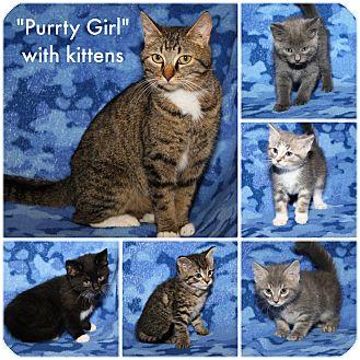 Domestic Shorthair Cat for adoption in Marietta, Ohio - Purrty Girl & Kittens