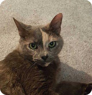 Domestic Shorthair Cat for adoption in Ferndale, Michigan - Blaze