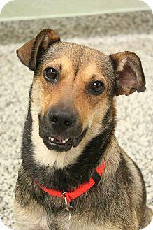German Shepherd Dog/Feist Mix Dog for adoption in Cranston, Rhode Island - Iris