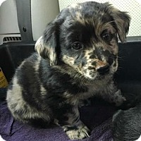 Adopt A Pet :: Gertie - Chester Springs, PA