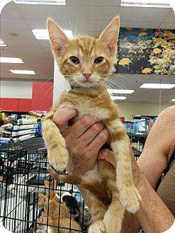 American Shorthair Kitten for adoption in Monrovia, California - Maize