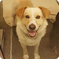 Adopt A Pet :: Sir Macaroni - Neosho, MO
