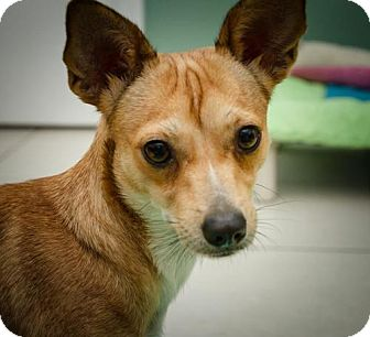 Chihuahua/Terrier (Unknown Type, Medium) Mix Dog for adoption in BROOKSVILLE, Florida - POLLIE