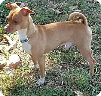 Chihuahua Mix Dog for adoption in Beacon, New York - Stewie