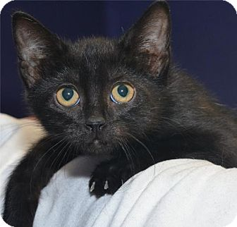 Domestic Shorthair Cat for adoption in Lenexa, Kansas - Annette