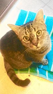 Domestic Shorthair Cat for adoption in Asheboro, North Carolina - Montie