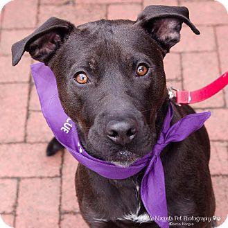 Labrador Retriever Dog for adoption in Washington, D.C. - Minion