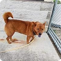 Chow Chow Dog for adoption in McClure, Ohio - Annie