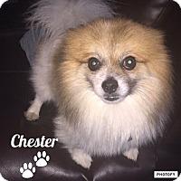 Adopt A Pet :: Chester - Walker, LA