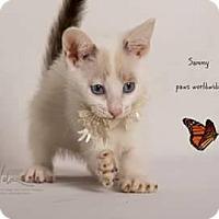 Snowshoe Kitten for adoption in Westlake, California - SAMMY