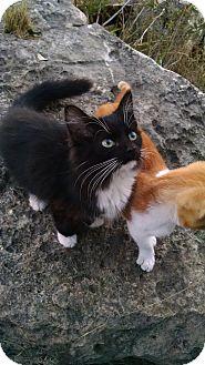 Domestic Longhair Kitten for adoption in Fischer, Texas - Whiskas