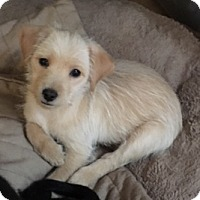 Adopt A Pet :: Taffy - Schaumburg, IL