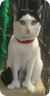 Hemingway/Polydactyl Cat for adoption in Phoenix, Arizona - Shoes