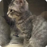 Adopt A Pet :: Piglet - Richland Hills, TX