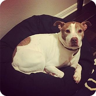 Boxer/Pit Bull Terrier Mix Dog for adoption in Dallas, Texas - Mickey