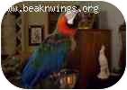 Macaw for adoption in Shawnee Mission, Kansas - Rocky