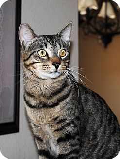 Domestic Shorthair Cat for adoption in Palmdale, California - Rolo