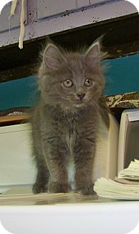 Domestic Longhair Kitten for adoption in Dover, Ohio - Sky