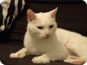 Domestic Shorthair Cat for adoption in Acushnet, Massachusetts - Mer (aka Mittens)