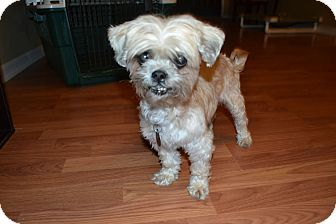 Shih Tzu Mix Dog for adoption in Homewood, Alabama - Lulu