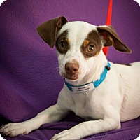 Adopt A Pet :: Greased Lightning - Broomfield, CO