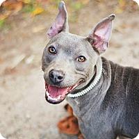 Adopt A Pet :: Shay - Peachtree City, GA