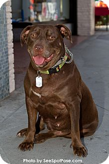 Labrador Retriever/American Pit Bull Terrier Mix Dog for adoption in Ojai, California - MISTY
