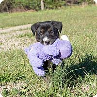 Adopt A Pet :: Hera $250 - Seneca, SC