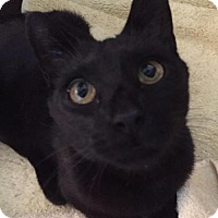 Adopt A Pet :: Midnight - Baltimore, MD