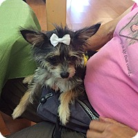 Adopt A Pet :: Harlow - S. Pasedena, FL