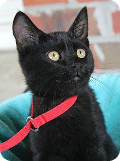 Domestic Shorthair Kitten for adoption in Ocean Springs, Mississippi - Luna