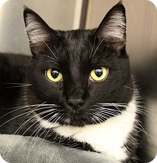 Domestic Shorthair Cat for adoption in Sarasota, Florida - Linus