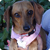 Adopt A Pet :: DAISEY - Portland, OR