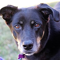 Shepherd (Unknown Type) Mix Dog for adoption in Springfield, Missouri - Cocoa