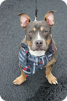 American Staffordshire Terrier/Bulldog Mix Puppy for adoption in Shrewsbury, New Jersey - Ethel