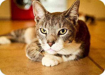 Domestic Shorthair Cat for adoption in Trevose, Pennsylvania - Difference