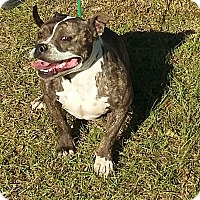 English Bulldog/American Staffordshire Terrier Mix Dog for adoption in Carthage, North Carolina - Katia
