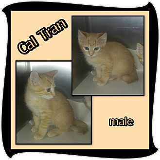 Domestic Shorthair Kitten for adoption in Richmond, California - Cal Tran