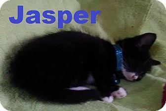 Domestic Shorthair Kitten for adoption in Flint, Michigan - Jasper
