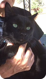 Domestic Shorthair Cat for adoption in Quail Valley, California - Timmy