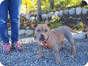 Pit Bull Terrier Mix Puppy for adoption in Whitehall, Pennsylvania - Ruby