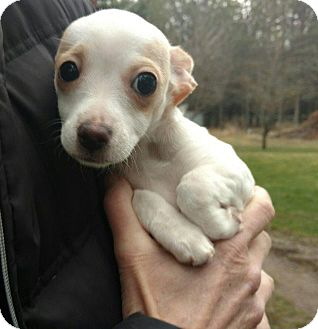 Terrier (Unknown Type, Small) Puppy for adoption in Thompson Falls, Montana - Milly