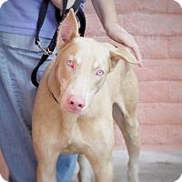 Adopt A Pet :: *Lipton Tea - Pittsburg, CA