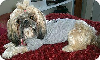 Shih Tzu Mix Dog for adoption in Toronto, Ontario - Suki