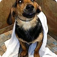 Adopt A Pet :: *Henry - PENDING - Westport, CT
